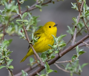 Yellow Warbler, Loantaka Brook Reservation, NJ, Apr. 22, 2015 (photo by Chuck Hantis)