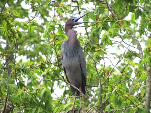 Little Blue Heron, Negri-Nepote Grasslands, NJ, May 11, 2015 (photo by Ernest Hahn)