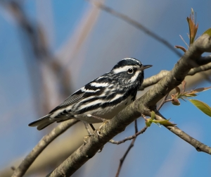 Black-and-white Warbler, Loantaka Brook Reservation, Apr. 30, 2015