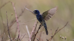 Blue Grosbeak, Negri-Nepote Grasslands, NJ, May 17, 2015 (photo by Chris Thomas)