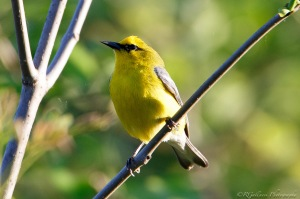 Blue-winged Warbler, Glenhurst Meadows, NJ, May 14, 2015 (photo by Robert Gallucci)