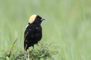 Bobolink, Duke Farms, Hillsborough Twp., NJ, May 9, 2015 (photo by Jonathan Klizas)