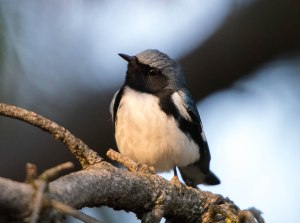 Black-throated Blue Warbler, E. Hanover, NJ, May 2, 2015 (photo by Chuck Hantis)