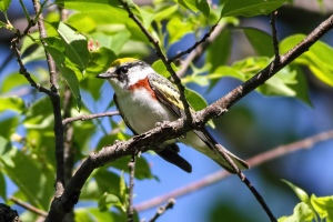 Chestnut-sided Warbler, Randolph Twp., NJ, May 24, 2015 (photo by Jonathan Klizas)