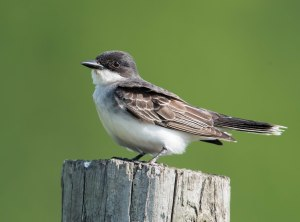 Eastern Kingbird, Florham Park, NJ, May 25, 2015 (photo by Chuck Hantis)