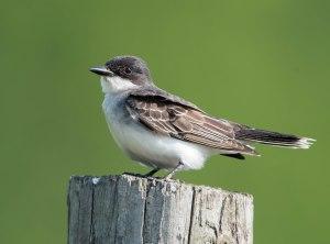 Eastern Kingbird, Florham Park, NJ, May 25, 2015 (photo by Chuck Hantis)