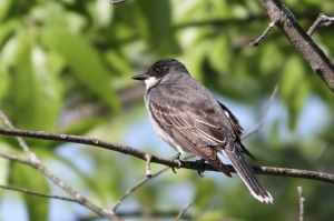 Eastern Kingbird, Melanie Lane Wetlands, NJ, May 14, 2015 (photo by Jonathan Klizas)
