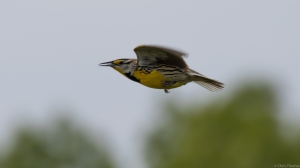 Eastern Meadowlark, Florham Park, NJ, May 15, 2015 (photo by Chris Thomas)