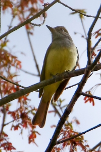 Great Crested Flycatcher, Lord Stirling Park, NJ, May 1, 2015 (photo by Robert Gallucci)