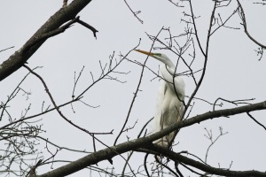 Great Egret, Passaic River, Long Hill Twp., NJ, May 31, 2015 (photo by Jonathan Klizas)