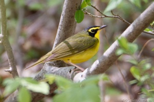 Kentucky Warbler, Long Valley, NJ, May 7, 2015 (photo by Robert Gallucci)