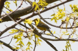 Lawrence's Warbler, Glenhurst Meadows, NJ, May 5, 2015 (photo by Mike Eggers)