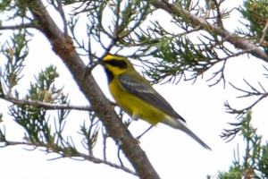 """Lawrence's"" Warbler, Glenhurst Meadows, NJ, May 28, 2015 (photo by Robert Gallucci)"