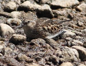 Least Sandpiper, Bridgewater, NJ, May 7, 2015 (photo by Jonathan Klizas)