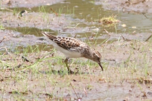 Least Sandpiper, Sourlands Mt. Preserve, NJ, May 4, 2015 (photo by Jonathan Klizas)