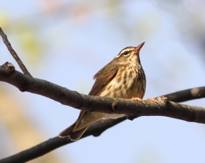 Louisiana Waterthrush, Rockaway Twp., NJ, May 3, 2015 (photo by Jonathan Klizas)