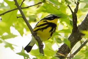 Magnolia Warbler, Glenhurst Meadows, NJ, May 13, 2015 (photo by Robert Gallucci)