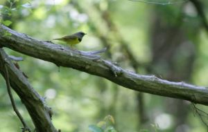 Mourning Warbler, Lord Stirling Park, NJ, May 24, 2015 (photo by Jeff Ellerbusch)