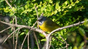 Mourning Warbler, Troy Meadows, NJ, May 22, 2015 (photo by Chris Thomas)
