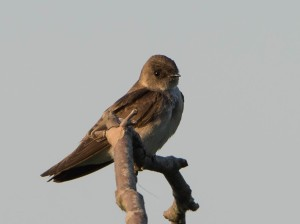 Northern Rough-winged Swallow, Hanover, NJ, May 25, 2015 (photo by Chuck Hantis)