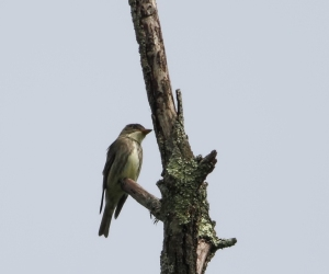 Olive-sided Flycatcher, Bamboo Brook OEC, NJ, May 20, 2015 (photo by Jonathan Klizas)