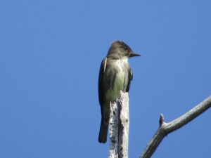 Olive-sided Flycatcher, Roxbury Twp., NJ, May 19, 2015 (photo by Alan Boyd)