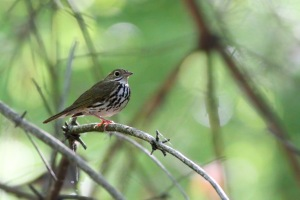 Ovenbird, Randolph Twp., NJ, May 24, 2015 (photo by Jonathan Klizas)