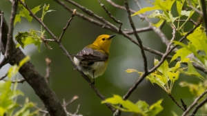 Prothonotary Warbler, Great Swamp NWR, May 16, 2015 (photo by Chris Thomas)