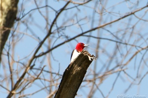 Red-headed Woodpecker, Glenhurst Meadows, NJ, May 7, 2015 (photo by Robert Gallucci)