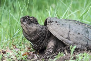 Snapping Turtle, Great Swamp NWR, May 17, 2015 (photo by Jonathan Klizas)