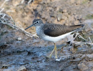 Solitary Sandpiper, Loantaka Brook Reservation, NJ, Apr. 30, 2015 (photo by Chuck Hantis)