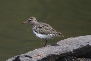 Spotted Sandpiper, Mahlon Dickerson Reservation, NJ,  May 15, 2015 (photo by Jonathan Klizas)
