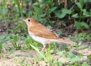 Veery, Morris Twp., NJ, May 4, 2015 (photo by Jonathan Klizas)