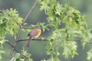 Document photo of Yellow-breasted Chat, Lord Stirling Park, NJ,  May 17, 2015 (photo by Jonathan Klizas)