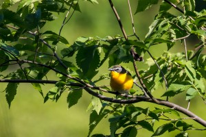 Yellow-breasted Chat, Lord Stirling Park, NJ, May 24, 2015 (photo by Simon Lane)