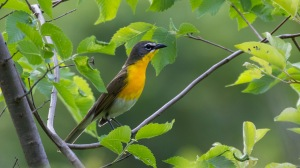 Yellow-breasted Chat, Lord Stirling Park, NJ, May 30, 2015 (photo by Chris Thomas)