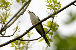 Yellow-billed Cuckoo, Glenhurst Meadows, NJ, May 13, 2015 (photo by Robert Gallucci)
