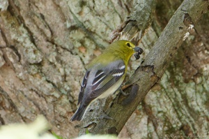 Yellow-throated Vireo, Glenhurst Meadows, NJ, May 7, 2015 (photo by Robert Gallucci)