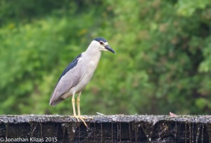 Black-crowned Night-Heron, Best Lake, Watchung, NJ, June 18 2015 (photo by Jonathan Klizas)