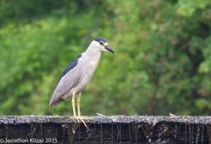 Black-crowned Night-Heron, Best Lake, Watchung, NJ, June 18 2015 (photo by Jonathan Klizas)