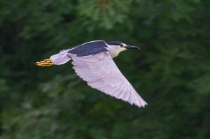 Black-crowned Night-Heron, N. Plainfield, NJ, June 18, 2015 (photo by Jonathan Klizas)
