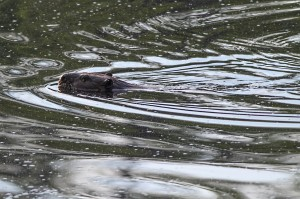 Beaver, Lost Lake, Jefferson Twp. NJ, June 14, 2015 (photo by Jonathan Klizas)