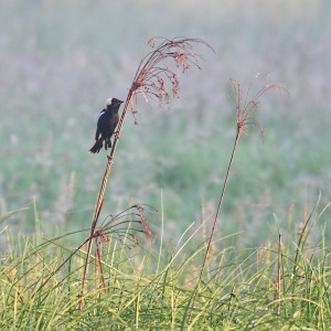 Bobolink, Harding Twp., NJ, June 10, 2015 (photo by Jonathan Klizas)