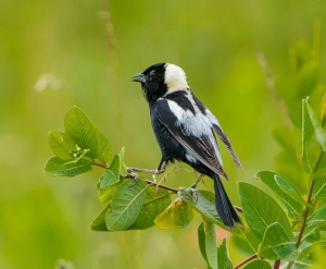 Bobolink, Harding Twp., NJ, June 29, 2015 (photo by Chuck Hantis)
