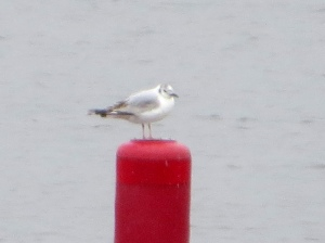 Bonaparte's Gull, Lake Musconetcong, NJ, June 1, 2015 (photo by Alan Boyd)