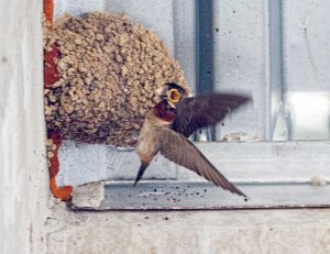 Cliff Swallow nests, Boonton Reservoir, NJ,  June 21, 2015 (photo by Jonathan Klizas)