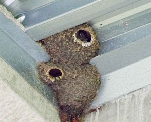 Cliff Swallow nests, Boonton Reservoir, NJ,  June 21, 2015 (photo by Jonathan Klizas)