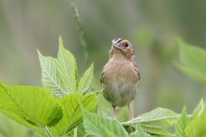 Grasshopper Sparrow, Negri-Nepote Grasslands, NJ, June 15, 2015 (photo by Jonathan Klizas)