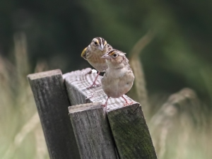 Grasshopper Sparrows, Negri-Nepote Grasslands, NJ, June 15, 2015 (photo by Jonathan Klizas)