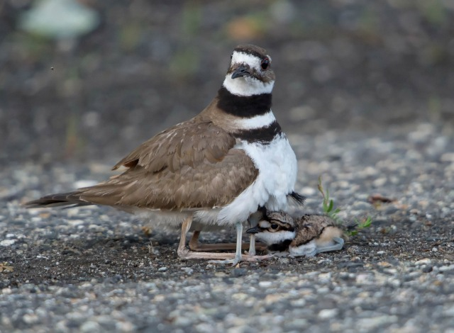 Killdeer, Melanie Lane Wetlands, Hanover, NJ, June 6, 2015 (photo by Chuck Hantis)
